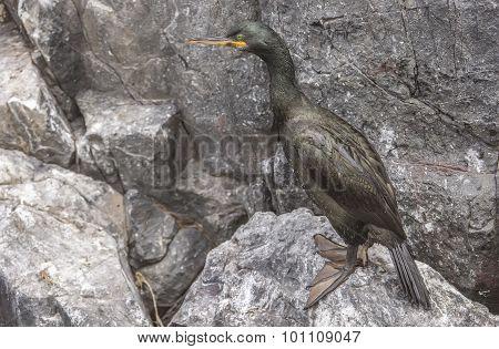 European Shag Phalacrocorax aristotelis standing on a rock