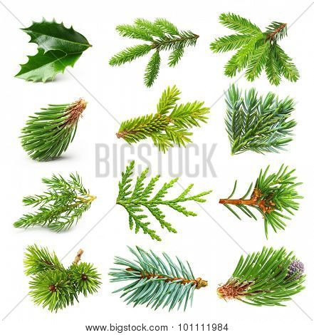 Evergreen tree branch set isolated on white background.