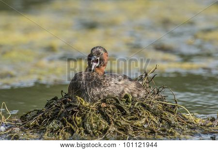 Little grebe sitting on the nest on a pond squawking
