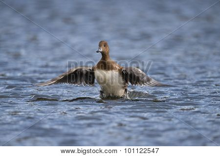 Wigeon Anas penelope flying from a pond
