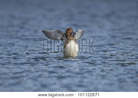 Wigeon Anas penelope displaying on a pond