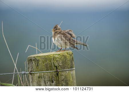 Skylark Alauda arvensis perched on a post