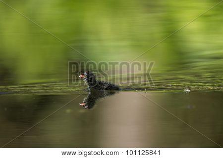 Moorhen Gallinula chloropus juvenile on a pond