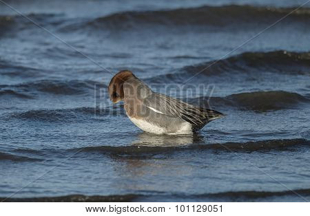 Wigeon Anas penelope splaying in the sea