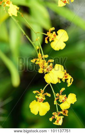 Beautiful Oncidium orchid yellow Flowers in garden.