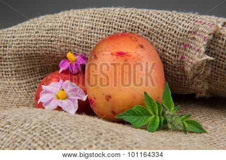New Organic Potatoes With Leaves And Flowers On Sackcloth