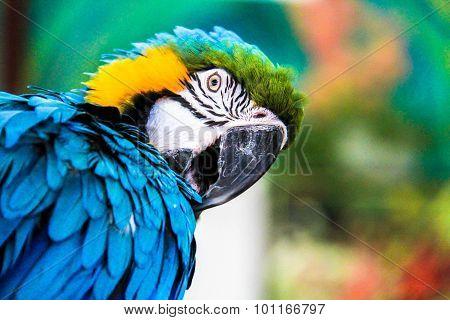 Parrot Macaws ( Ara Ararauna)