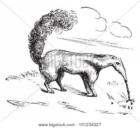 Anteater, vintage engraved illustration.