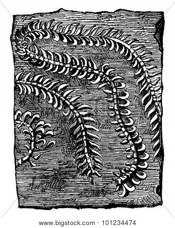 Nereites Cumbriensis, vintage engraved illustration. Earth before man - 1886.