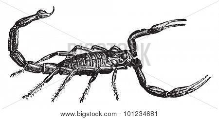 Scorpion, vintage engraved illustration. Natural History of Animals, 1880.