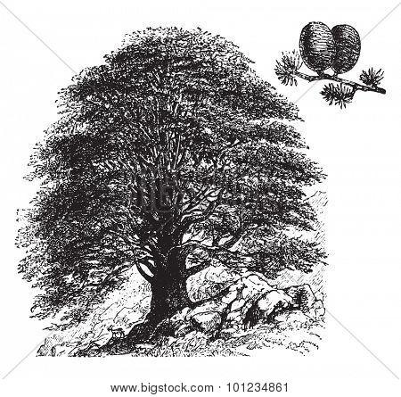 Cedrus libani, vintage engraved illustration. La Vie dans la nature, 1890.