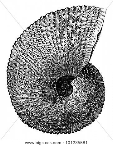 Ammonite aon, vintage engraved illustration. Earth before man 1886.