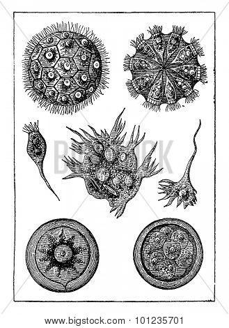 Protists, intermediate beings. The magosphaera planula, vintage engraved illustration. Earth before man 1886.
