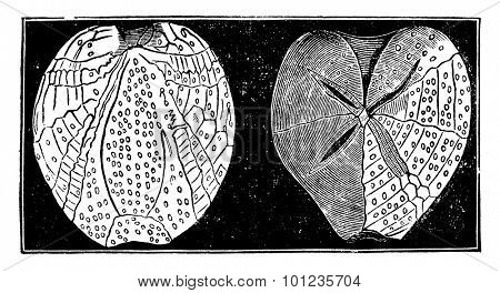 Fossil echinoderms, vintage engraved illustration. Earth before man 1886.