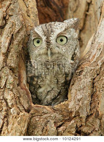 A Little Screech Owl