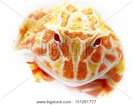 Ornate Horned Frog On Bright Background