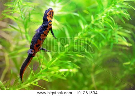 Chinese Fire Belly Newt