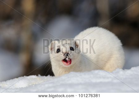Winter Least Weasel Eating
