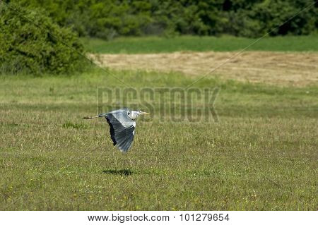 Heron (Ardea cinerae) in flight over  eco-area of lake Kerkini