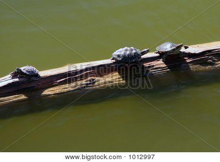 Three Turtles On Log