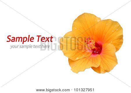 Yellow Hibiscus on white