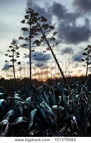 Blooming's Agaves