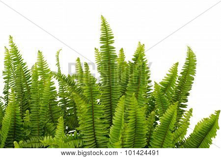Tuber Sword Fern, Sword Fern. Scientific Name: Nephrolepsis Biserrata Cr.furcan.