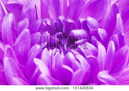 Violet Chrysanthemum Flower Petals