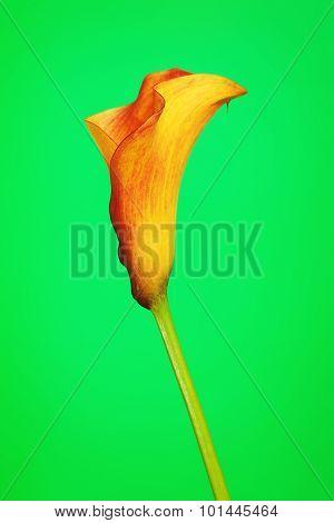 Orange Calla Lily