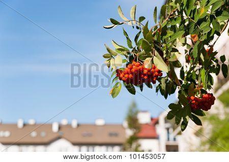 Bunch of ripe ashberries