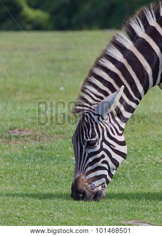 The Zebra Eating The Grass