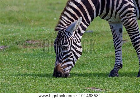 Zebra's Close-up