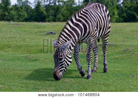 Zebra Is Going Through The Grass