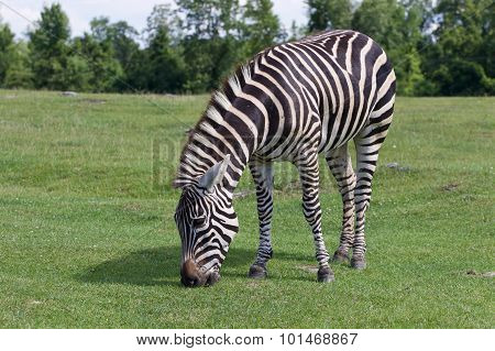 Zebra On The Sunny Day