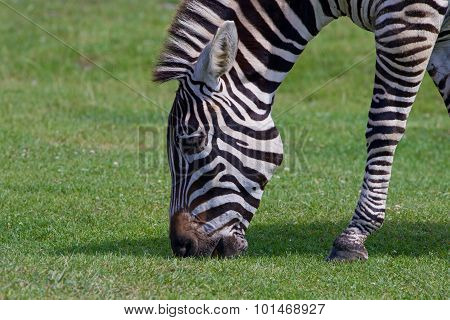 Beautiful Close-up Of The Zebra