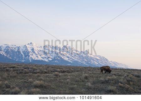 Tetons And Buffalo Grazing