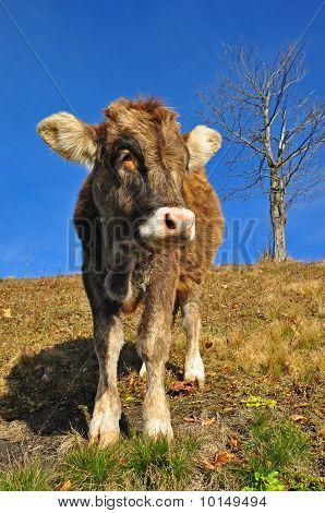 The calf on a hillside.