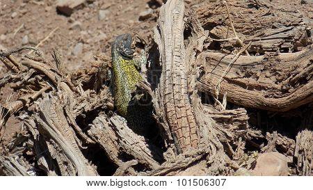 Reptile taking a sunbath