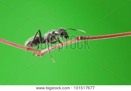 Macro Of Ant On Twig