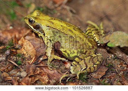 European yellow-green frog