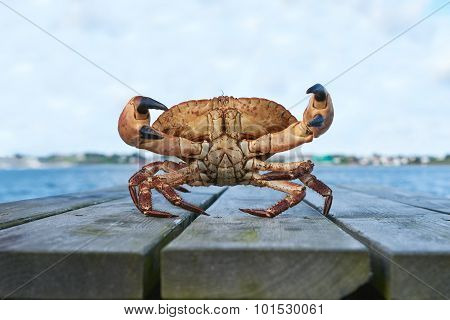Alive Norwegian Brown crab, Cancer pagurus,  edible crab, crab Tourteau in defending posture with raised claws poster