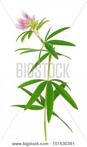 Medicinal plant: Trifolium alpestre