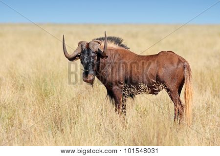 Male black wildebeest (Connochaetes gnou) in grassland, Mokala National Park, South Africa