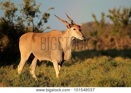 Male eland antelope (Tragelaphus oryx) in natural habitat, Mokala National Park, South Africa