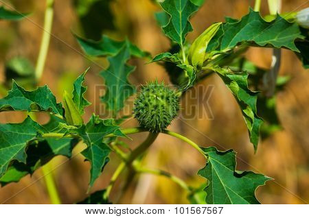 fruit and vegetable with Semin poison dope Datura stramonium poster