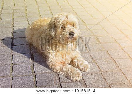 Tan Boomer Dog Outdoors