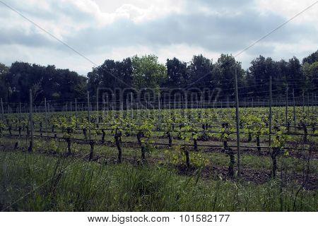 Grapes Landscape