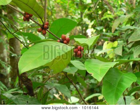 Leaf Of Coffee