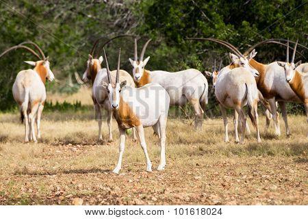 Scimitar Horned Oryx Calf