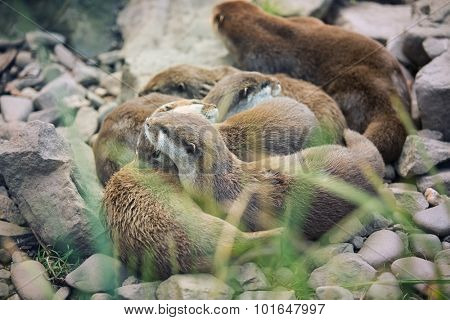 River otter cubs while resting - Lutra lutra